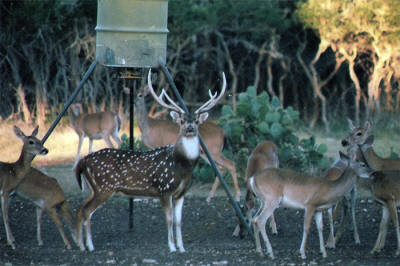 "alt=""Beautiful Axis deer at the ranch."""